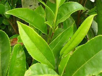 45 tq4 Tác dụng thần kỳ của trà xanh đối với thai phụ