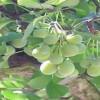 Giới thiệt công dụng và thành phần dược tính chữa bệnh của cây bạch quả
