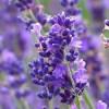 Tìm hiểu nguồn gốc xuất xứ của hoa oải hương
