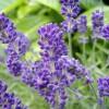 Câu chuyện về loài hoa oải hương huyền bí