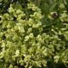Tìm hiểu công năng và tác dụng của  hoa hòe