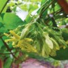 Hoa thiên lý: Không chỉ bổ dưỡng mà còn là thuốc