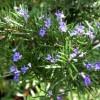 Mùi hương thảo có thể giúp tăng cường trí nhớ