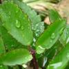 Bật mí bí quyết trị mụn từ các loại lá quen thuộc (5)