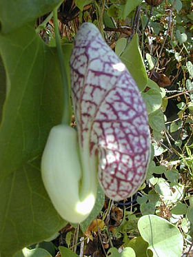 Aristolochia.littoralis1web