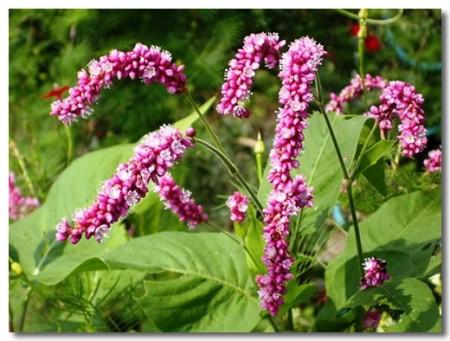 polygonum_orientale_flower_01