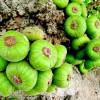 Loai-qua-moc-day-goc-nhung-rat-it-nguoi-an-lai-co-tac-dung-chua-benh-than-ky-1-1559545477-974-width1000height667
